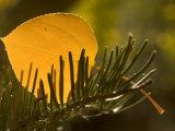 Close-up of Orange Quaking Aspen Leaf Backlit Among a Pine Branch