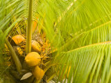 Coconuts Nestled Below the Palms of a Tree