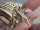 Hand Holding a Hermit Crab