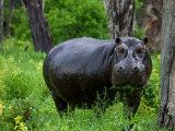 Portrait of a Wet Hippopotamus Chewing Vegetation