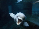 Beluga Whale Swimming with an Open Mouth Threat Display