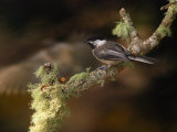 Black-Capped Chickadee  Parus Atricapillus  on Lichen-Covered Branch