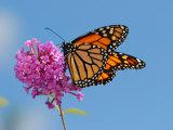 Monarch Butterfly  Danaus Plexippus  Visiting Flowers