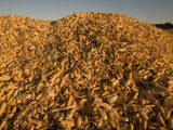 Mounds of Ears of Corn Harvested for Livestock Feed