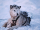 One of Naomi Uemura's Alaskan Sled Dogs for Solo Trip to North Pole