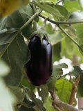 Eggplant Growing in a Safari Camp Garden
