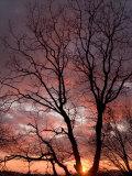 California Black Oak Tree at Sunset at an Elevation of 3 500 Feet
