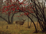 White-Tailed Deer Doe in a Foggy Forest Clearing in Autumn