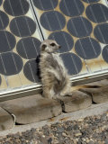 Suricate (Suricata Suricatta  also Called Meerkat)  Suns Himself Against a Solar Cell
