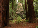 Redwoods and Trail in Muir Woods National Monument  California