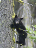 American Black Bear (Ursus Americanus)  First Year Cub in a Tree