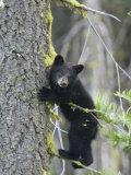 American Black Bear (Ursus Americanus)  First Year Cub in a Tree