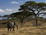 African Elephant Walks Among Acacia Trees
