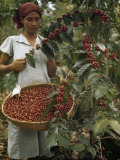 Woman Picks Ripe Red Coffee Berries  Leaving Green Ones to Ripen