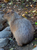 Capybara  the World's Largest Rodent