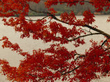 Red Maple Tree Branches with Backdrop of Price Lake