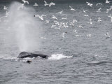 Humpback Whale (Megaptera Novaeangliae) Surfacing Surrounded by Birds