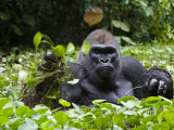 Silverback Soaks in a Swamp for Hours While Munching Herb Roots