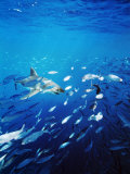 Great White Shark Hunting a Large School of Sardines