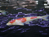 Koi Fish Swimming on the Surface of the Water