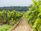 Grape Vines at Fall Creek Vineyards  in the Texas Hill Country