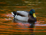 Male Mallard Duck Drinking Fall Foliage Is Reflected in the Water