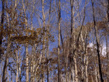 Stand of Partially-Denuded Trees and Clear Blue Sky