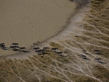 Aerial of a Herd of Burchell's Zebras Following Time Worn Paths