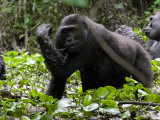 Female Western Lowland Gorilla Slapping at a Tsetse Fly