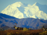 Caribou on the Move in the Foothills of Mount Mckinley