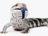 Eastern Blue-Tongue Lizard Pokes Tongue Out in Defense