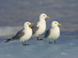 Trio of Black-Legged Kittiwakes Standing on Sea Ice