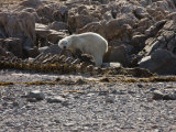 Polar Bear Scavening a Carcass on a Rocky Beach