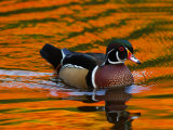 Male Wood Duck  Aix Sponsa  Swimming the Water Reflects Fall Foliage