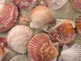 Scallop Shells on a Beach