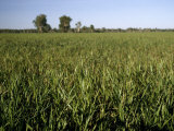Native Grass  Hymenachne Acutigluma  Dominating a Wetland Plain