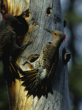Northern Flickers Fight over Nesting Cavity
