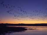 Snow Geese Flying Along the Rio Grande at Sunrise