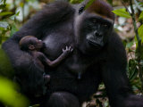 Western Lowland Gorilla Mother Breastfeeding Her Infant