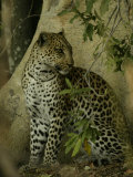 Leopard (Panthera Pardus) Sits in the Woods