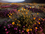 Sunrise on Desert Wildflowers: Sunflowers  Primrose  Sand Verbena