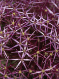 Close View of a Cluster of Wild Asters