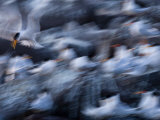Blurred Motion of a Flock of Elegant Terns  Sterna Elegans  in Flight
