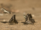 Swallowtail Butterflies Drinking Water on a Road in the Forest