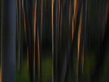 Sunlight on Aspen Tree Trunks