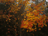 Maple Tree with Autumn Colored Leaves in a Foggy  Rainy Forest
