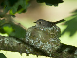 Female Flame Robin Nestled Tightly in Her Woven Nest in an Oak Tree