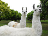 Group of Llamas on a Wooded Field