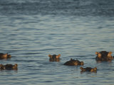 Hippos Float in the Zambezi River in Zambia