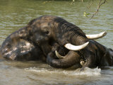 Elephants Bathe and Wrestle in the Waters of the Zambezi River